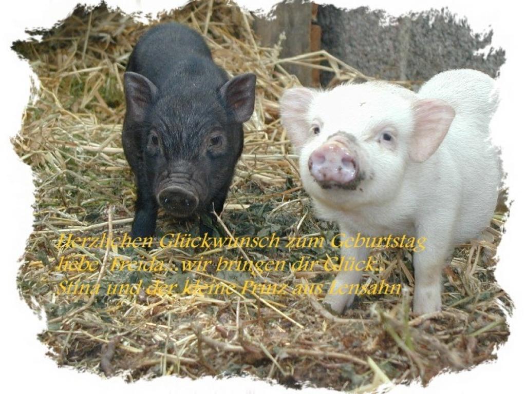Tieranzeigen Minischweinchen Kleinanzeigen