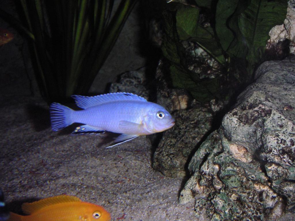 Malawis verschiedene arten barsche for Fische arten
