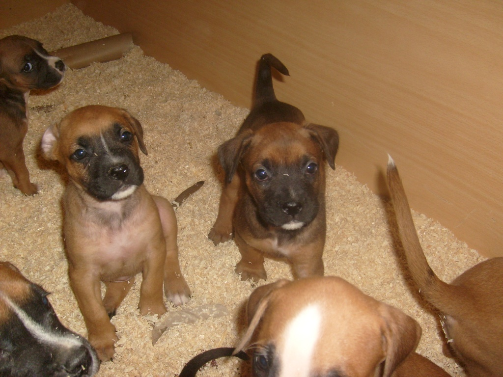 boxer rhodesian ridgebackmix Hunde Mischlinge
