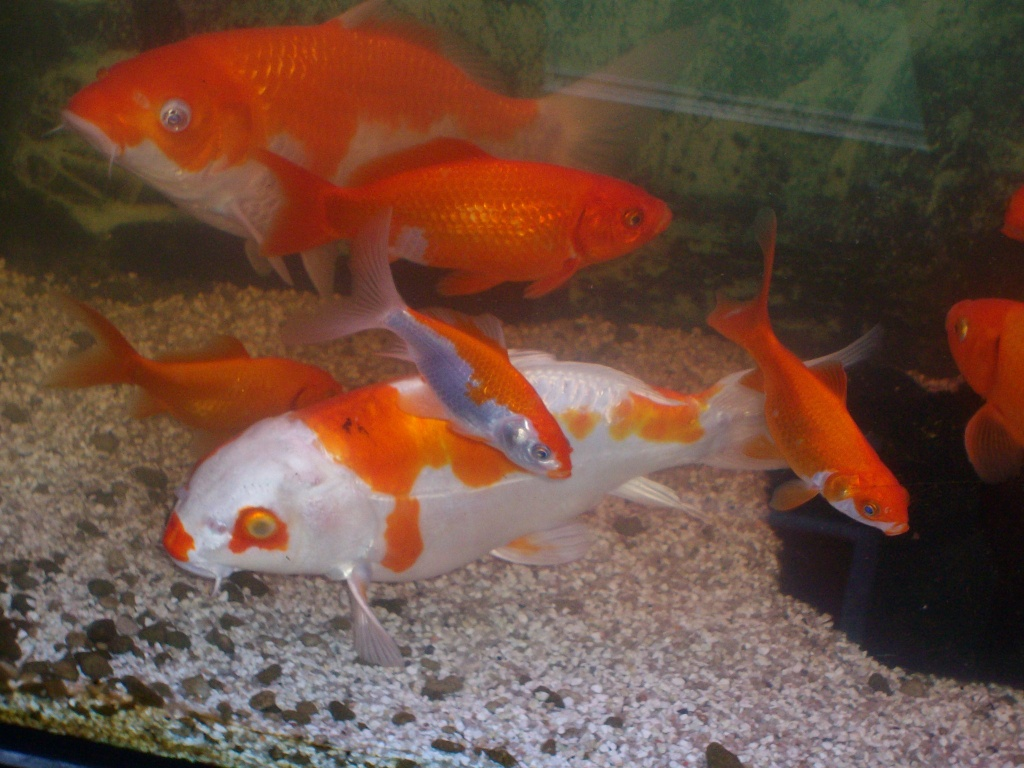 2 koi 2 koi junior und jede menge goldfische koi s for Koi und goldfische im gartenteich