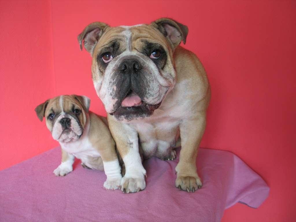wurfplanung englische bulldogge bulldog. Black Bedroom Furniture Sets. Home Design Ideas