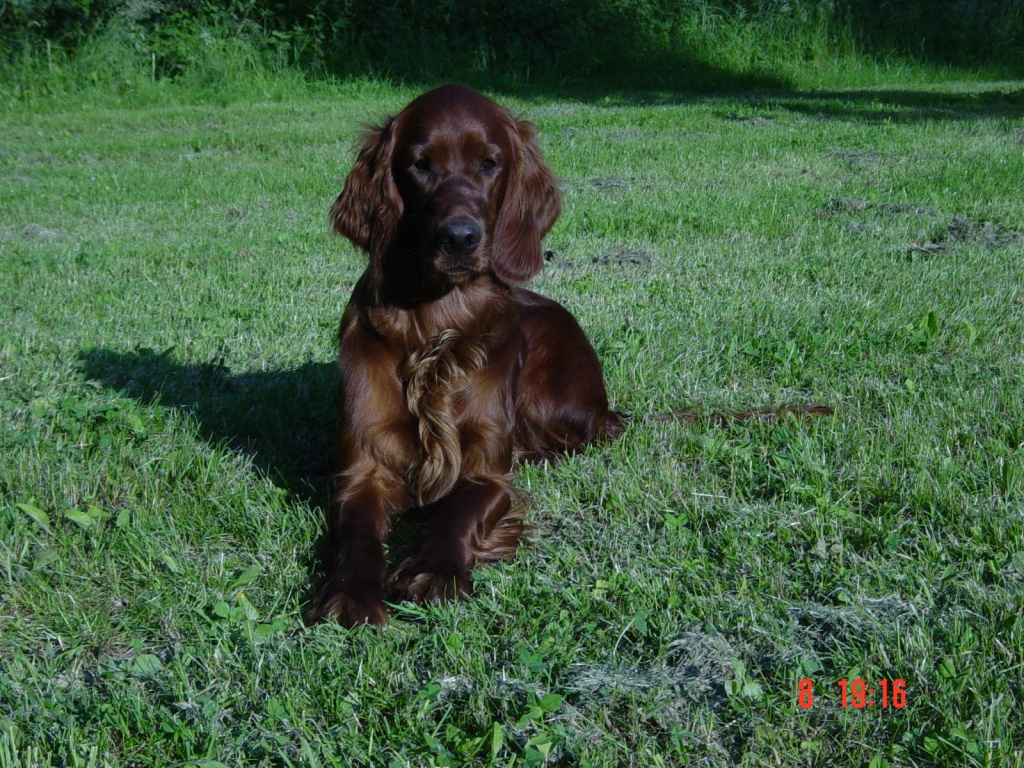 Gorgeus Irish Red Setter dog laying outdoor