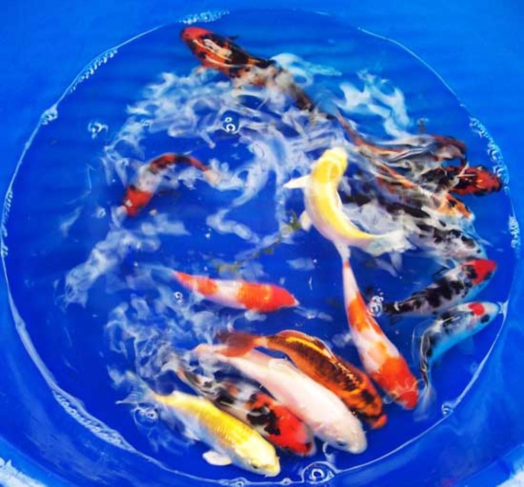 Fische koi s tieranzeigen seite 6 for Kleine teichfische arten