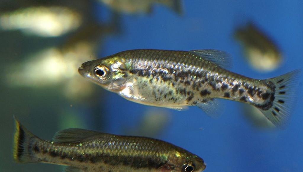 Tieranzeigen zahnkarpfen kleinanzeigen for Fische im gartenteich
