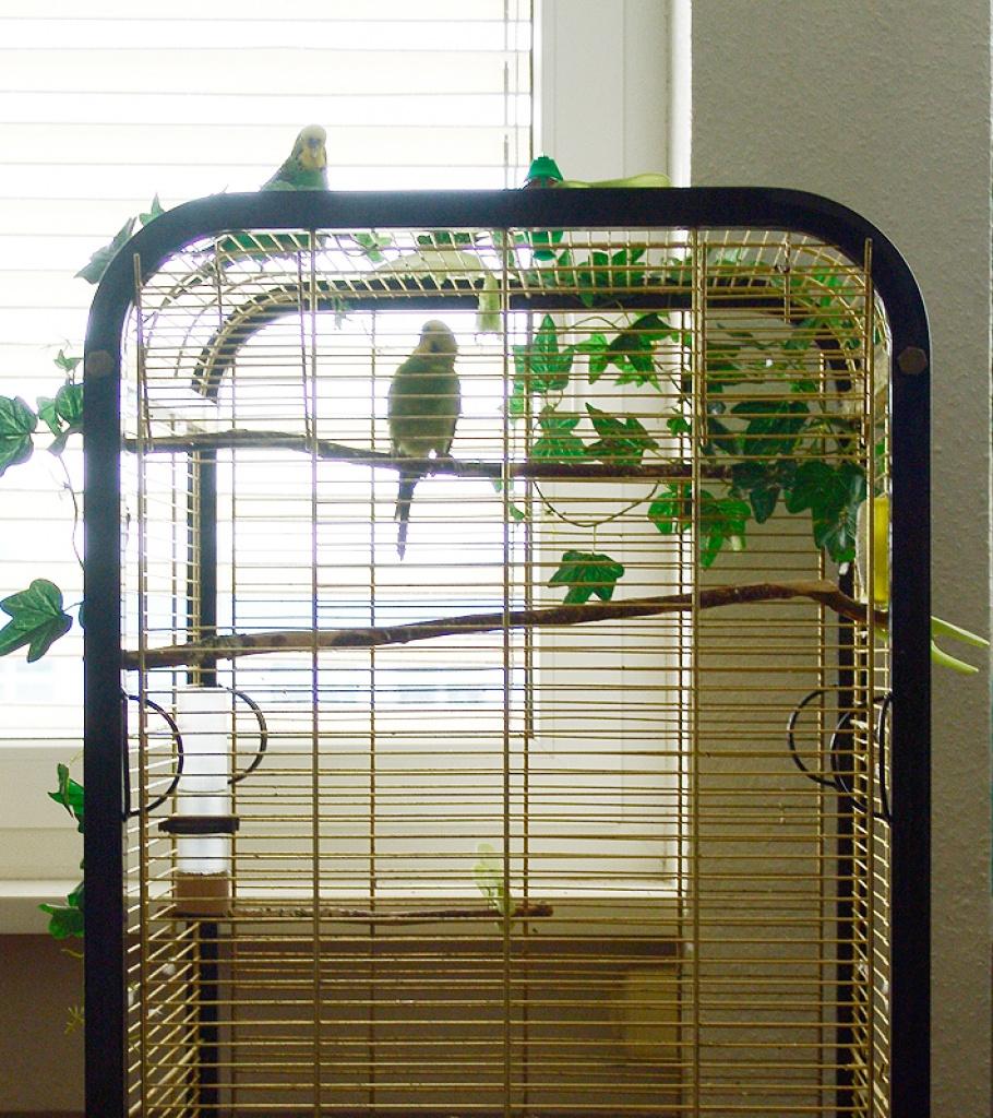 tieranzeigen papageienk fig kleinanzeigen. Black Bedroom Furniture Sets. Home Design Ideas
