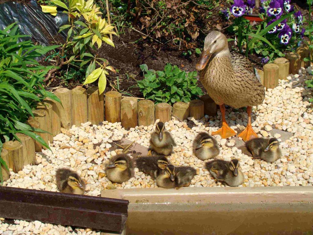 Nutztiere Enten Tieranzeigen Seite 12