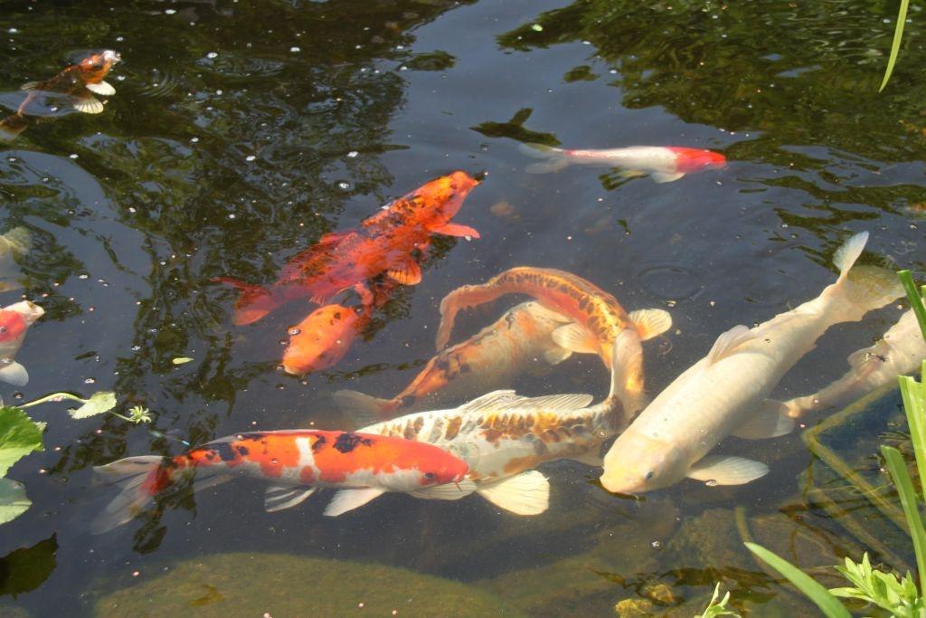 Graskarpfen im gartenteich graskarpfen im gartenteich for Koi fische im gartenteich