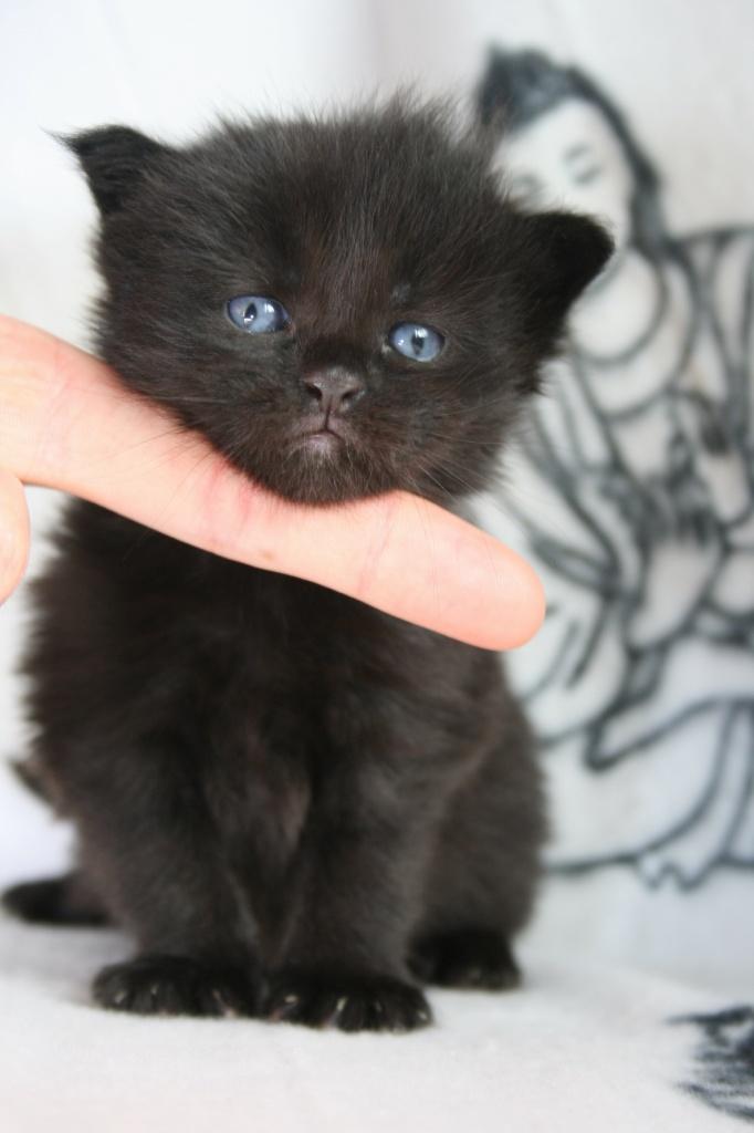 Blue Smoke Maine Coon Cat