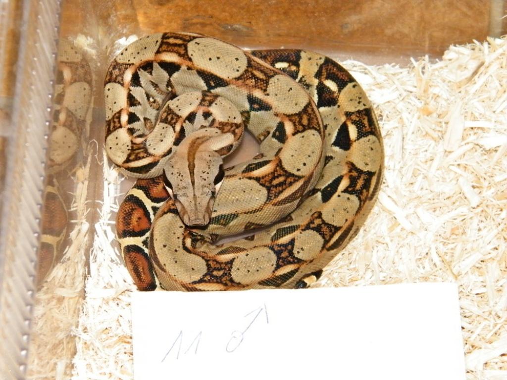 reptilien schlangen tieranzeigen seite 30. Black Bedroom Furniture Sets. Home Design Ideas