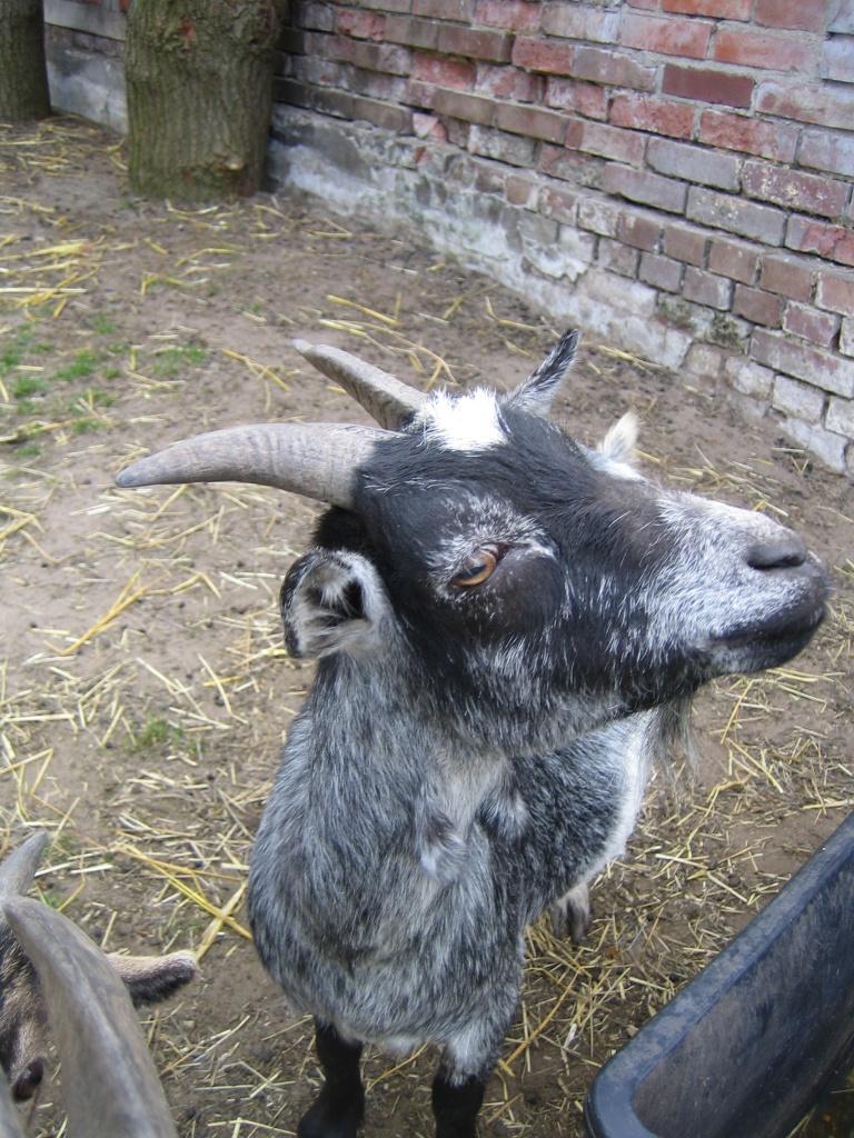Nutztiere Ziegen Tieranzeigen Seite 15