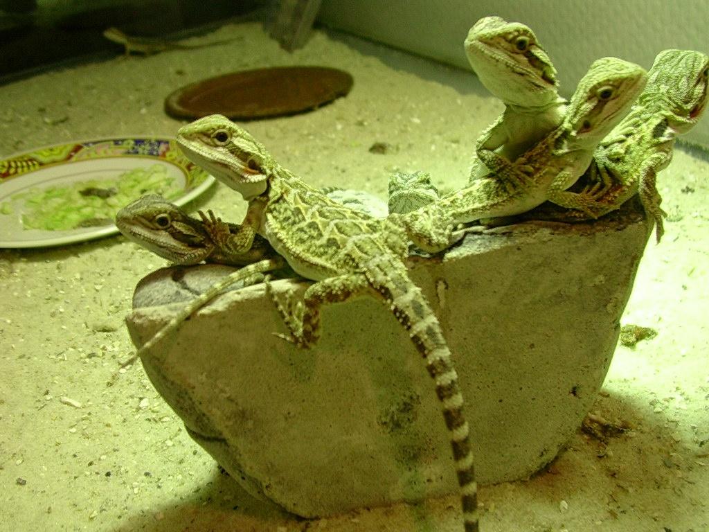 Bartagame Terrarium Licht : Bartagamenbabys Reptilien Bartagame