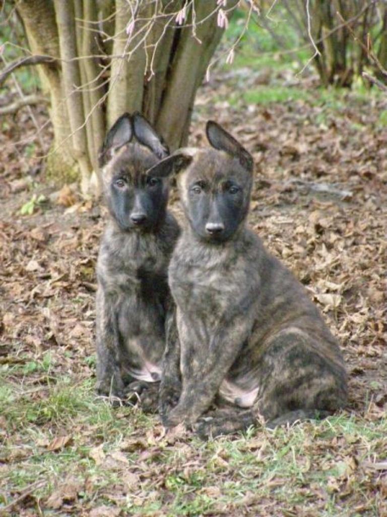 Hunde Rassehunde Hollandischer Schaferhund Tieranzeigen