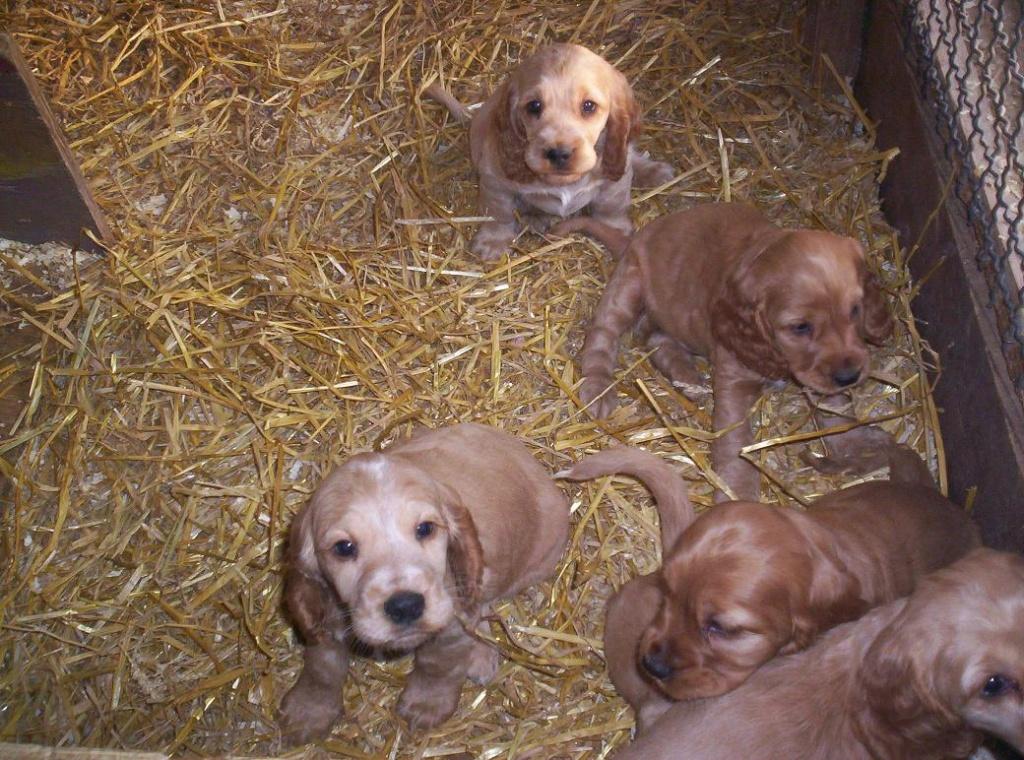 Hunde Rassehunde Shepherd Tieranzeigen