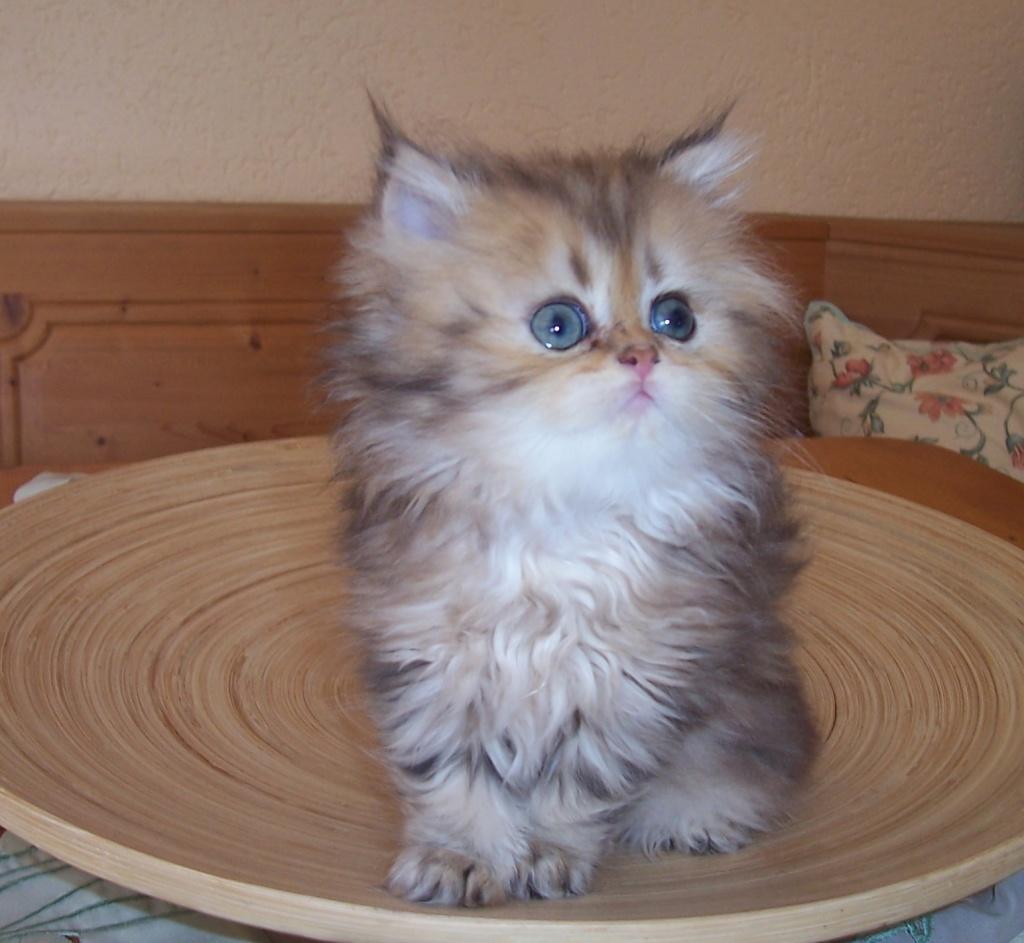 Baby White Persian Cats
