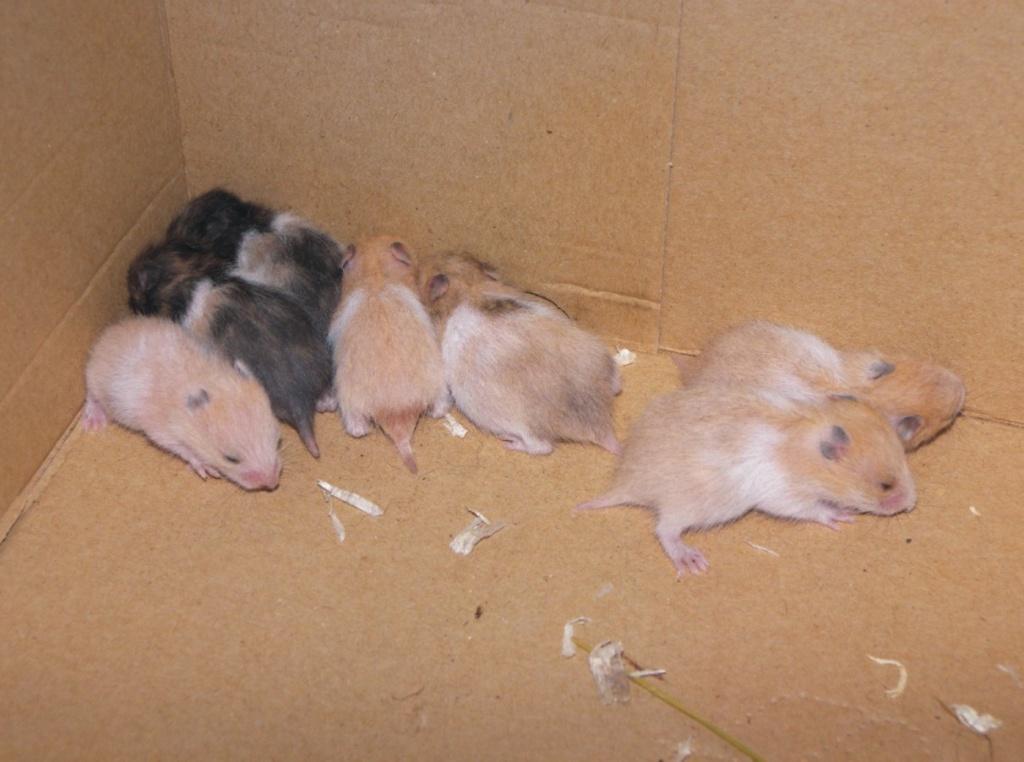 S 252 223 E Gescheckte Hamsterbabys Abzugeben Hamster