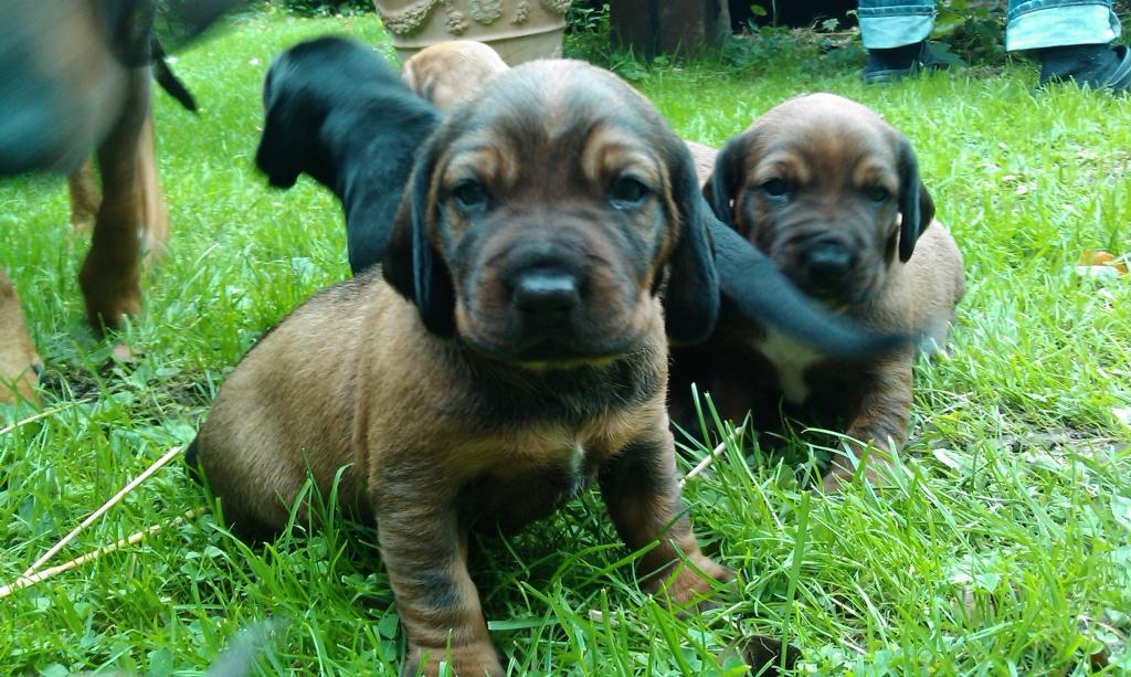 Hunde Rassehunde Bayerischer Gebirgsschwei 223 Hund