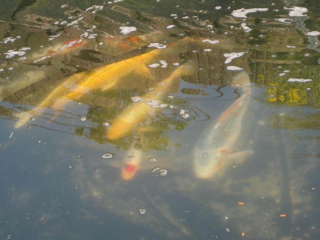Fische koi s tieranzeigen seite 4 for Koi und goldfische