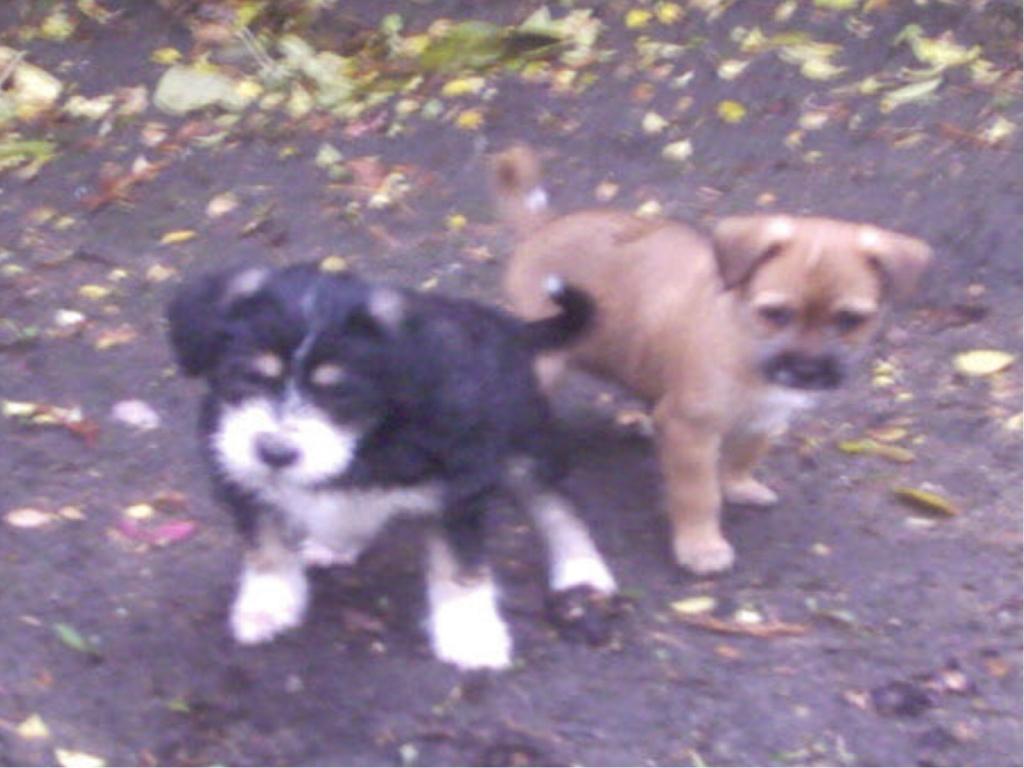 Tibet Terrier Jack Russel Terrier Welpen Weiblich Zu Verkaufen Terrier