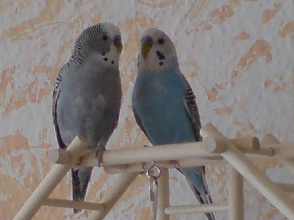 Alluring Wellensittich Töne The Best Of Schöne Wellensittiche Liebevolle Hände Abzugeben Vögel Sittiche