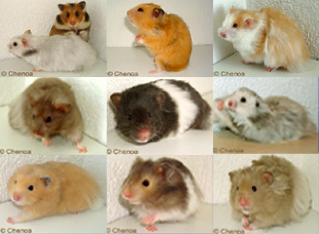 sehr sch ne teddyhamster in verschiedenen farben hamster. Black Bedroom Furniture Sets. Home Design Ideas