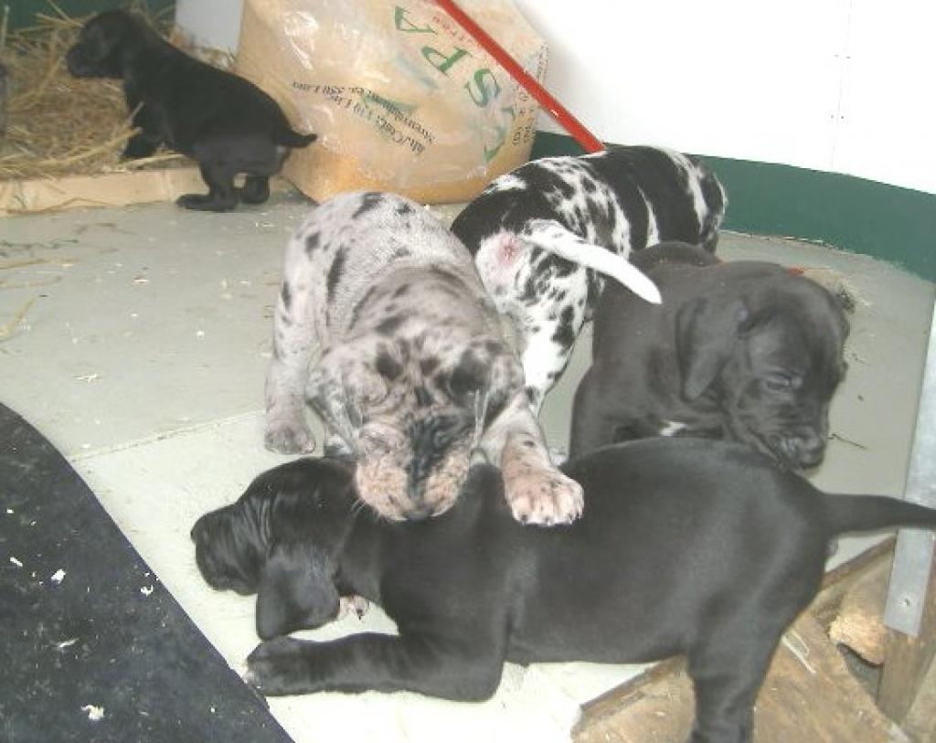 Tieranzeigen Doggenwelpe Kleinanzeigen