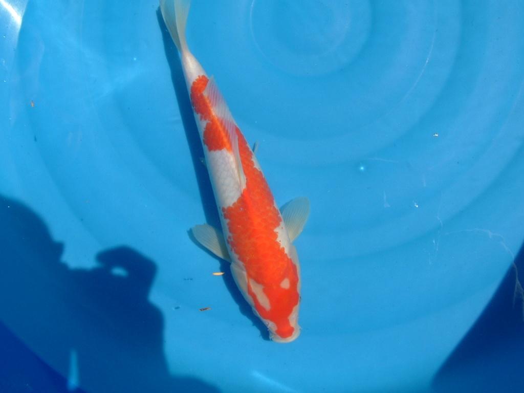 Japan koi koi s for Japanische teichfische