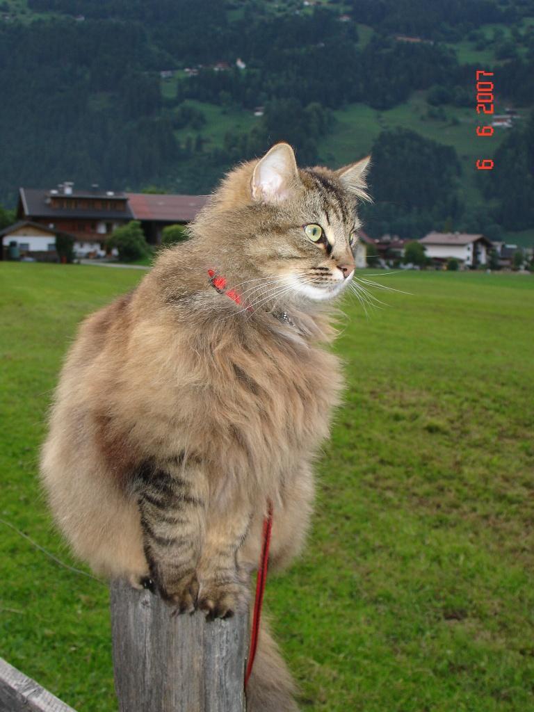 Norwegische Waldkatze Riesig Norwegische Waldkatze