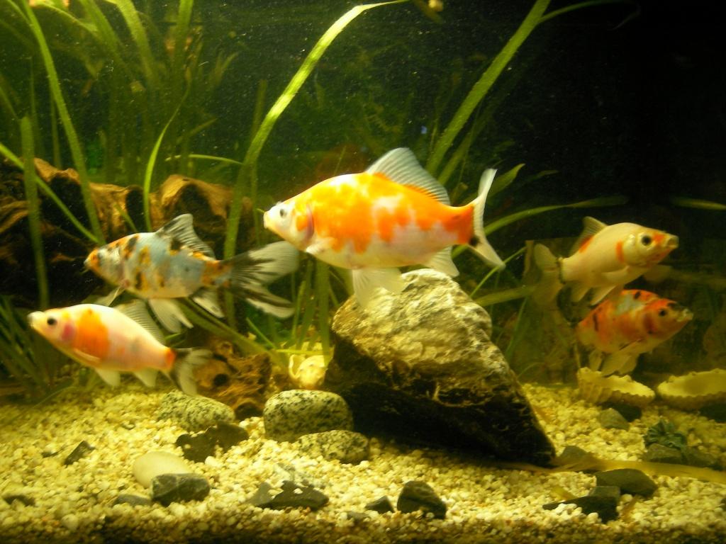 Fische goldfische tieranzeigen seite 1 for Goldfische im aquarium