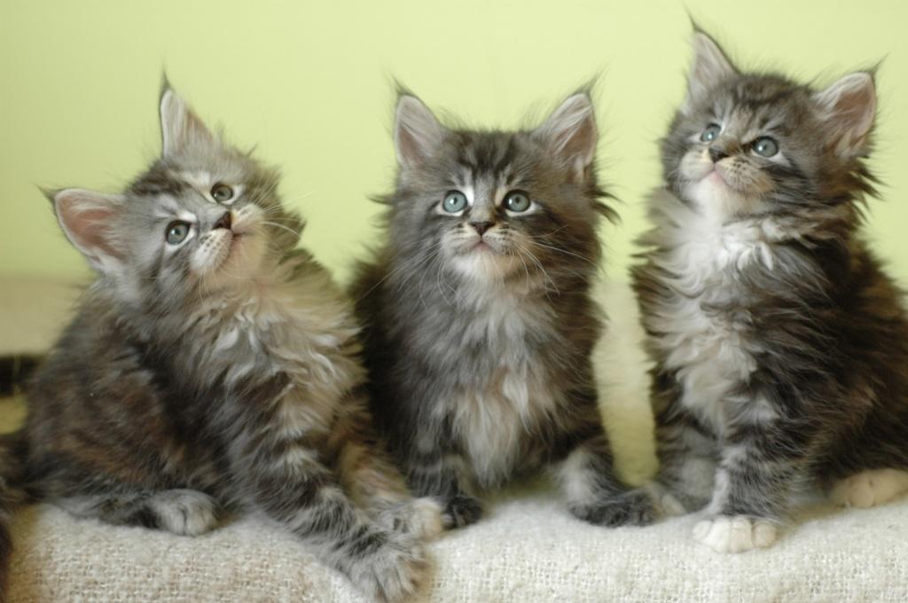 S 252 223 E Maine Coon Kitten Suchen Neues Zuhause Maine Coon