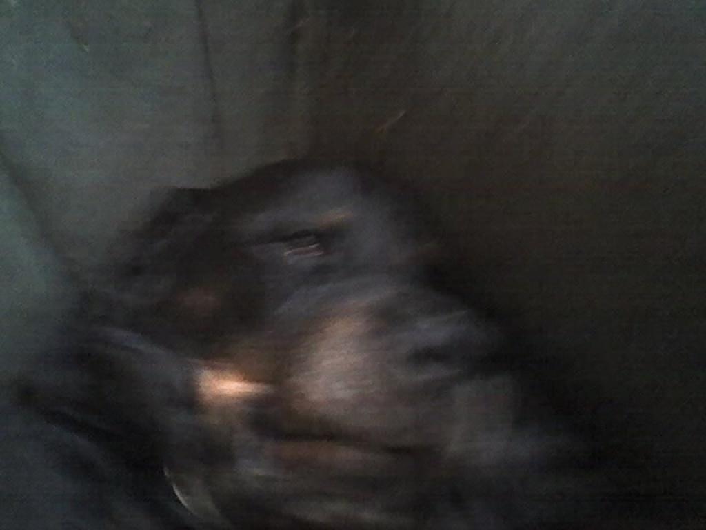 Hunde Rassehunde Rottweiler Tieranzeigen Seite 9
