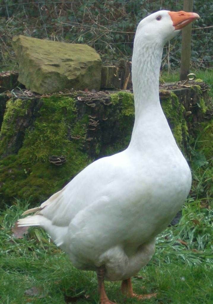 What does a goose look like