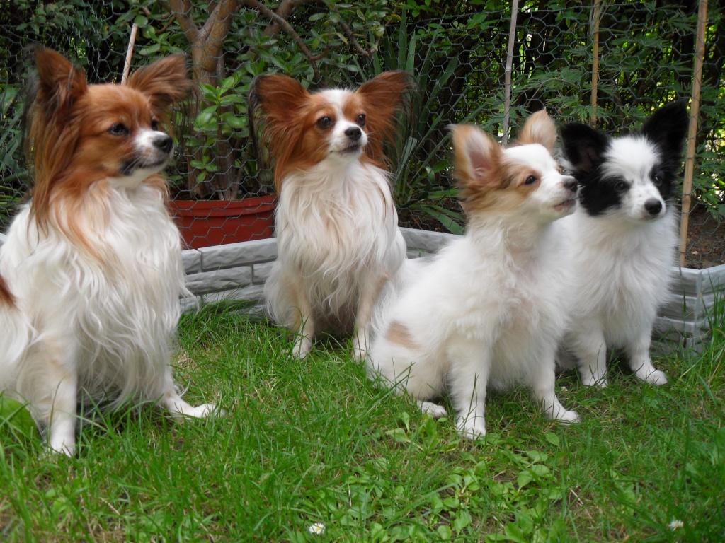 Hunde Rassehunde Papillon Tieranzeigen
