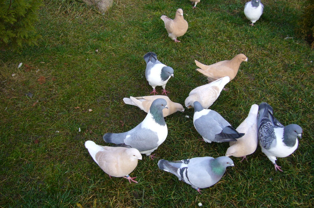 Tauben Verkaufen