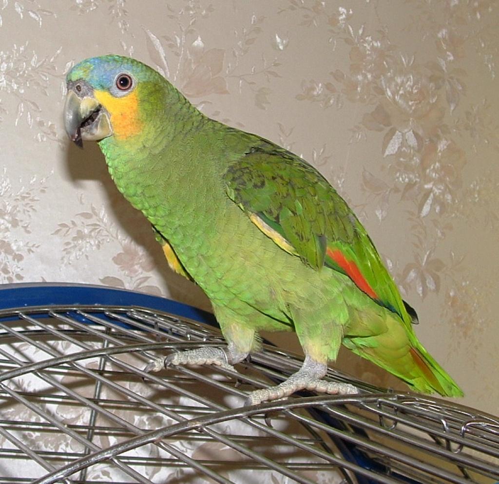 Preis Amazonen Papagei
