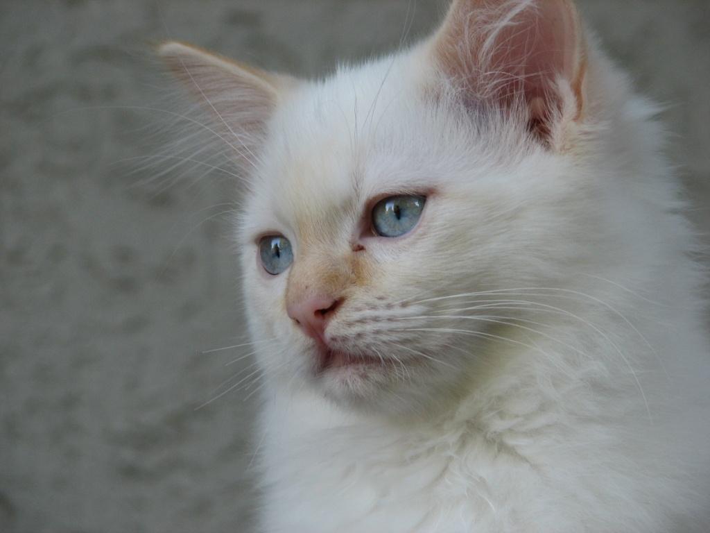 Katzen Rassekatzen Ragdoll Tieranzeigen Seite 6