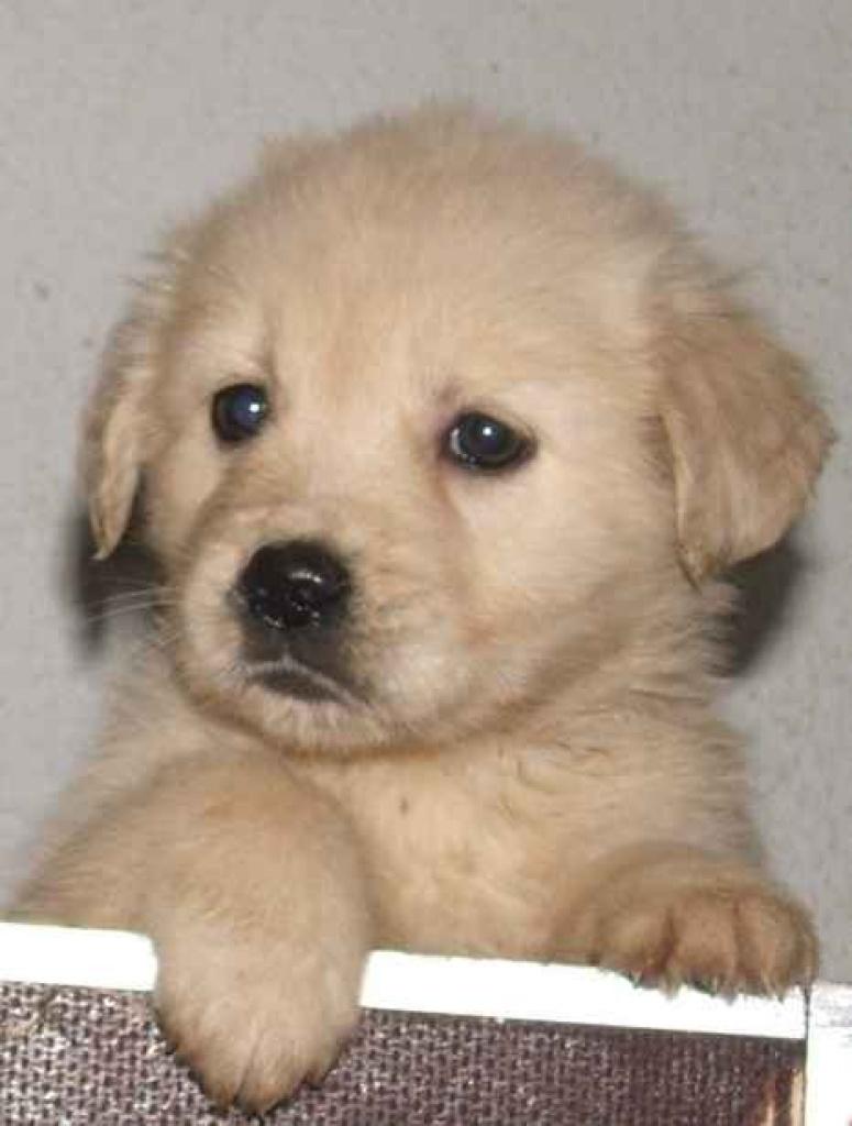 Hunde Rassehunde Golden Retriever Tieranzeigen Seite 7