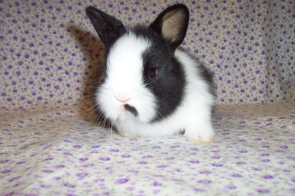 zwer angora kaninchen hasen wei und schwarz wei kaninchen. Black Bedroom Furniture Sets. Home Design Ideas
