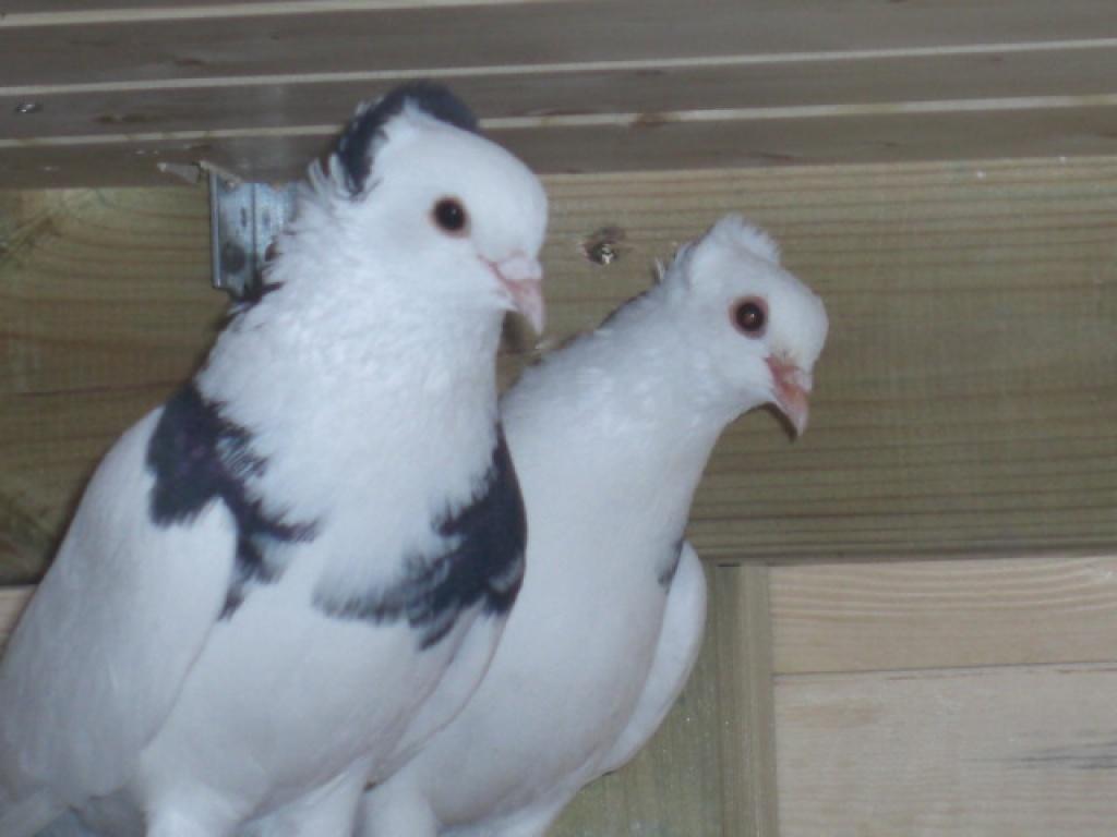 Sisaker Roller Tauben Tauben