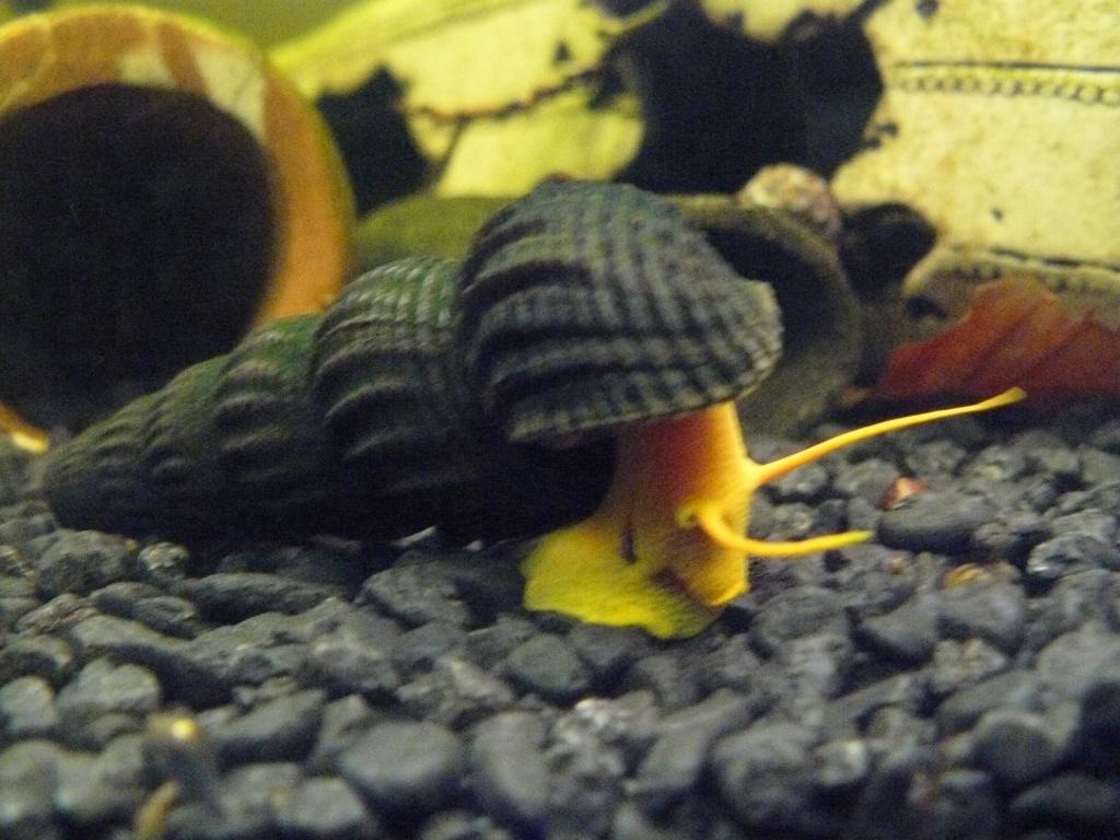Fische schnecken tieranzeigen seite 1 for Goldorfen zucht