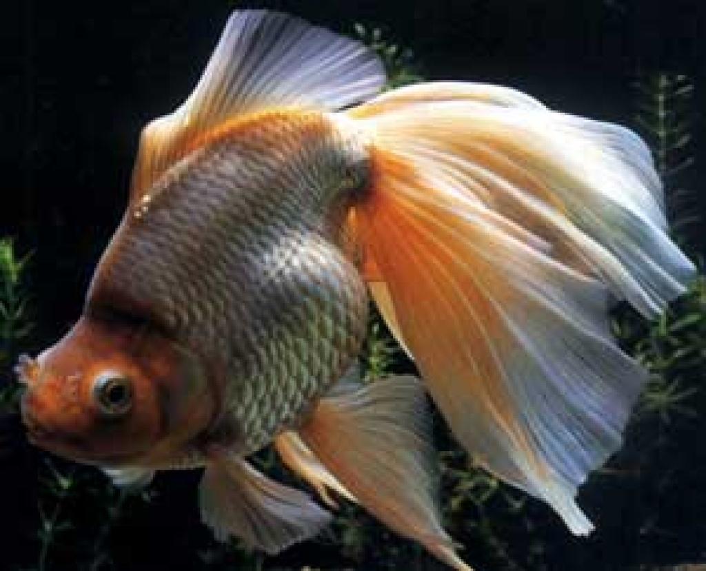 Fische goldfische tieranzeigen seite 1 for Teichfische shubunkin