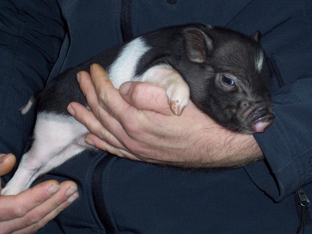 Minischweine Ausgewachsen