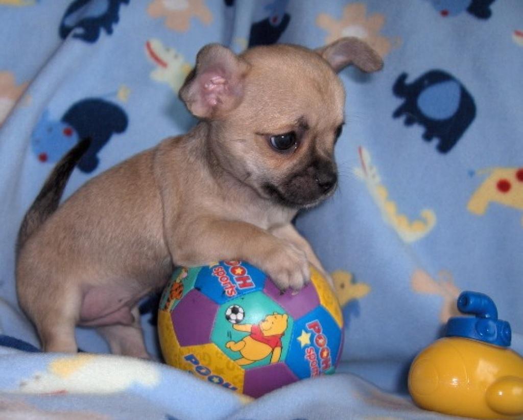 Wanted Chihuahua Welpen Rude Kurzhaar Chihuahua