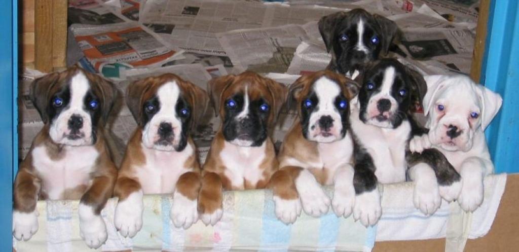 Hunde Rassehunde Boxer Tieranzeigen Seite 14