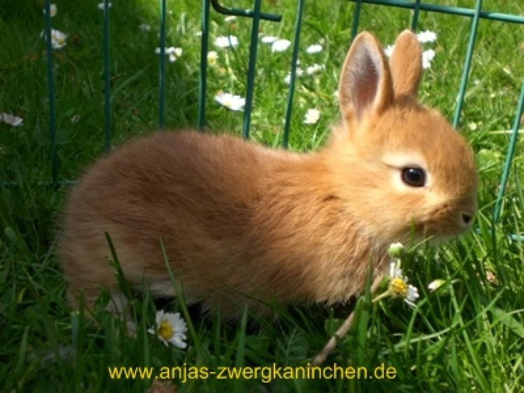 Spezialisierte Mini Zwergkaninchenzucht In Nrw Kaninchen