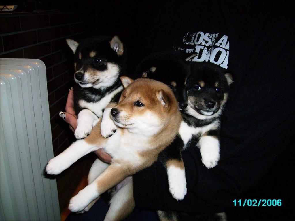 Hunde Rassehunde Shiba Inu Tieranzeigen
