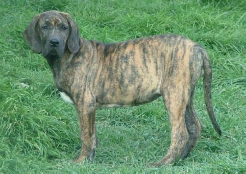 Hunde Rassehunde Fila Brasileiro Tieranzeigen