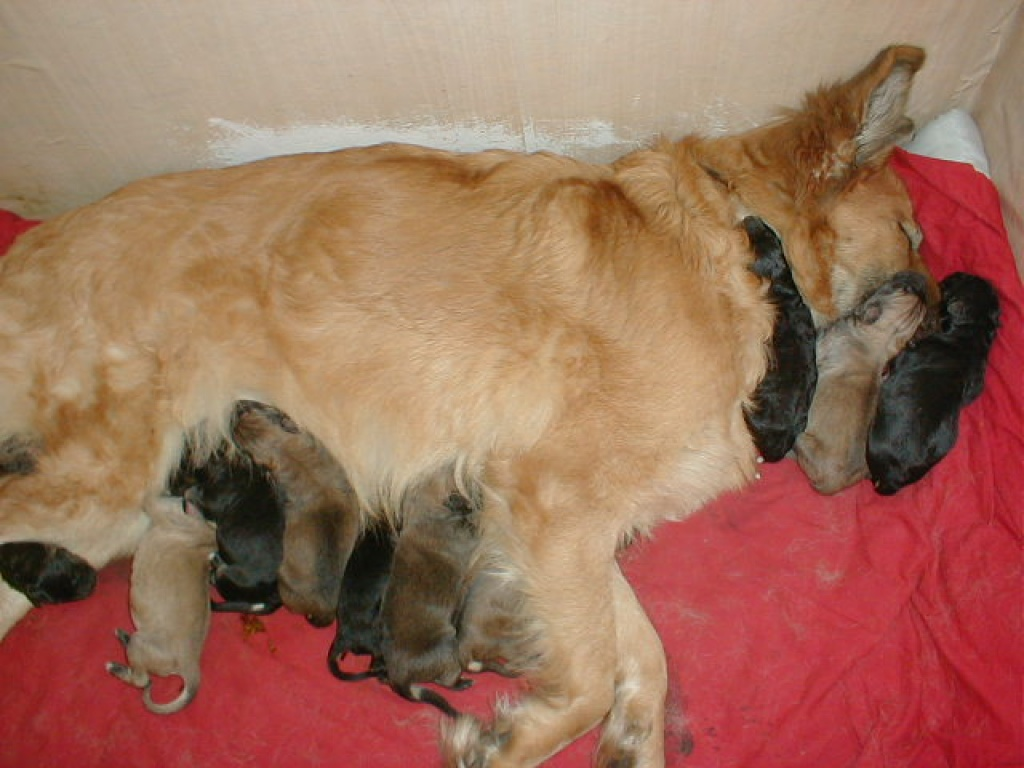 11 Bezaubernde Golden Retriever Weisser Schaferhund Mix Welpen Mischlinge