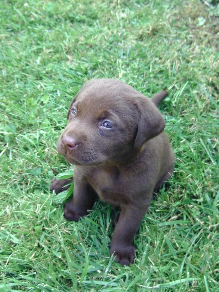 Labrador Retriever Schokobraun