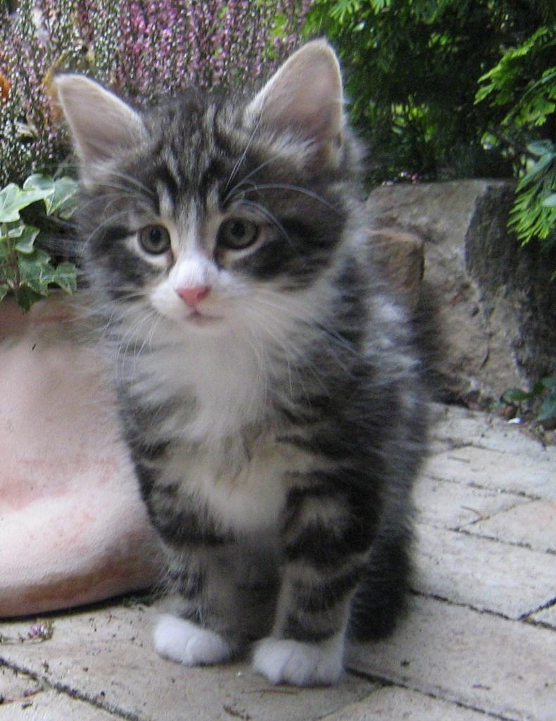 Katzen Rassekatzen Norwegische Waldkatze Tieranzeigen Seite 12