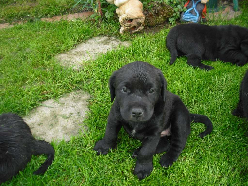 Mega S 252 223 E Schwarze Labrador Mischlingswelpen Mischlinge